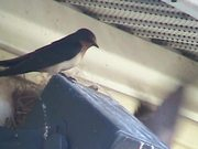 Swallows - Chasing An Intruder