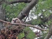 Great Horned Owl Nest: Curious Owlets