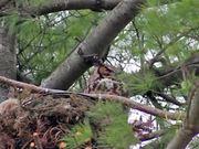 Great Horned Owl Nest: Curious Owlets