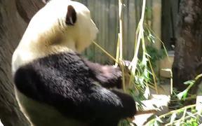 The Panda