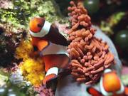 Two Coral Fishes