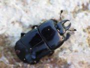 Clown Beetles