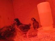 The Little Chicks