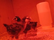 The Little Chicks