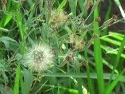 Delicate Dandelion Swaying on the Wind