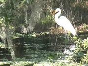 Myakka Park - A Great Egret