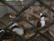 White-Crested Thrushes