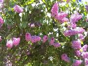 Lilac Syrener in Bloom