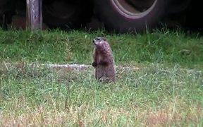 Groundhog on Glade