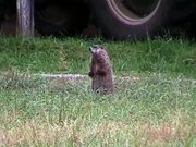 Groundhog on Glade