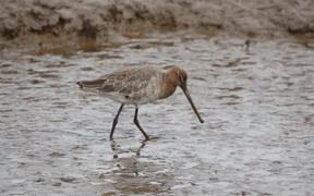Waders Black-Tailed Godwit