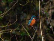 Mr. Kingfisher
