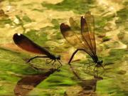 Ebony Jewelwing Females Ovipositing
