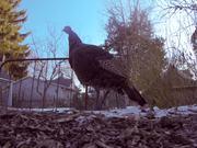 Fowl Far Afield
