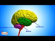 The Nervous System Functions and Facts