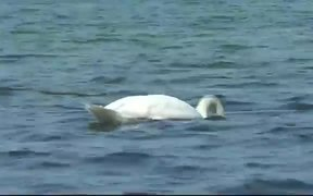 Swan Dive Baltic