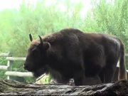 Young Bison Walks