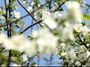 Fruit Tree in Spring