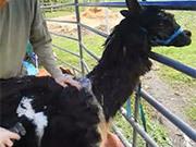 Alpaca Shearing At Sumas Mountain Farms