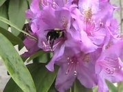 Rhododendron and Bee in Macro