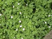 Vitsippor - Wood Anemones