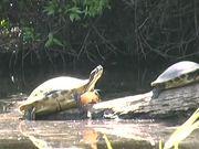 Myakka River State Park - Turtles