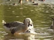 Swan Goose in Slow Motion