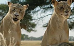 Fiber One Commercial: Lionesses