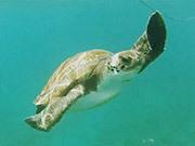 Tenerife - Snorkel - Turtle