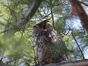 Great Horned Owl Nest: Yawning & Bobbing
