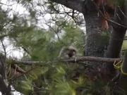 Great Horned Owl Nest: Yawning & Bobbing