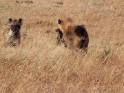 Kenya Hyena