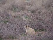 Cute Field Rodent