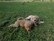 Golden Days - Golden Retriever Puppies
