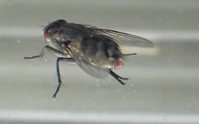 Flesh Fly Cleaning Itself (Sarcophaga Carnaria)