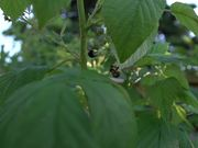 Bees Pollinating Raspberries