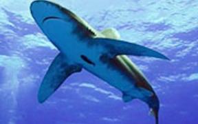 Shooting Sharks: Oceanic Whitetips