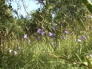 Bluebells Swaying on a Wind