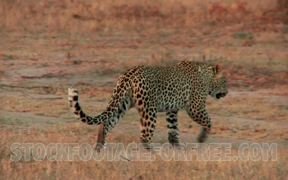Leopard on African Plains