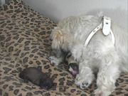 Juliet Gives Birth to 7 Puppies