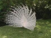 Sarasota Jungle Gardens - White Peacock