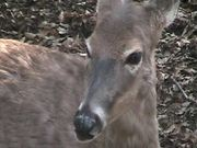 Virginia White-Tail Doe Chewing Her Cud