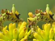 3D Cross-Eye: Camouflaged Caterpillar