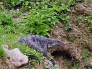 Headbanging Iguanas