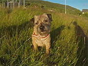 Border Terrier - Loppa's Summer Holiday