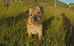 Border Terrier - Loppa's Summer Holiday