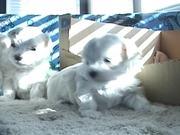 5 Sweet Maltese Puppies (4-5 weeks old)