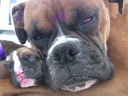 Boxer's Two-Day-Old Puppies in HD