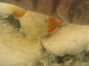 Perch Aquarium