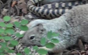 Squirrel vs. Big Snake Battle!